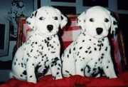 Dalmation Puppies for sale