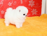 WWKDF friendly,  and sociable Pomeranian For Sale CALL 07031957695